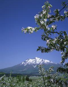 リンゴの花と岩木山の写真素材 [FYI03985152]