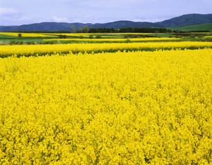 菜の花のカーペットの写真素材 [FYI03985156]