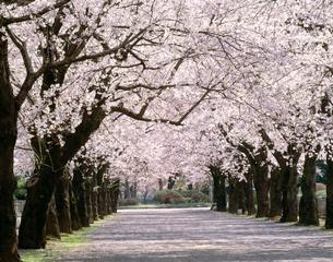桜の並木道 多摩墓地の写真素材 [FYI03985164]