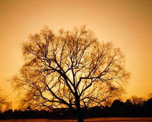 木のシルエットの写真素材 [FYI03985166]