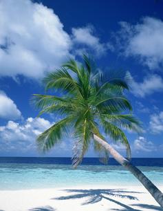 浜辺のヤシの木の写真素材 [FYI03985186]