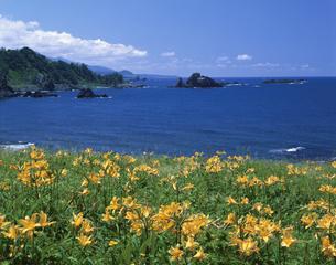 カンゾウの群落   6月   新潟県の写真素材 [FYI03985187]