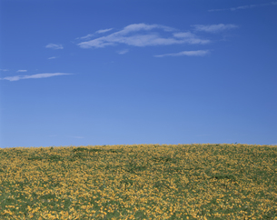 青空とニッコウキスゲ咲く花畑   8月  長野県の写真素材 [FYI03985189]
