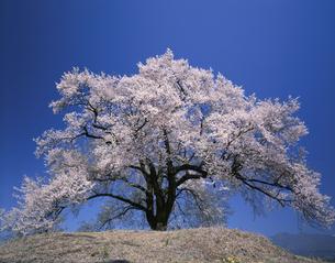 丘の上の桜  4月   山梨県の写真素材 [FYI03985191]