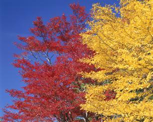 紅葉と黄葉と青い空   10月の写真素材 [FYI03985202]