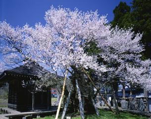 薬師桜の写真素材 [FYI03985210]