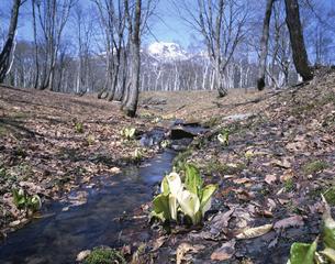 水芭蕉咲く小川と妙高山  4月の写真素材 [FYI03985212]