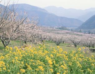 菜の花とアンズの里 更埴市4月の写真素材 [FYI03985214]