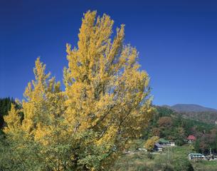 黄色いイチョウと山間の集落の写真素材 [FYI03985216]