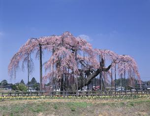 神田の大糸桜 小淵沢町  4月の写真素材 [FYI03985221]