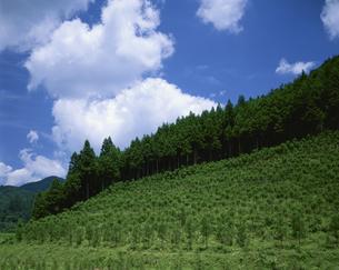 植林の苗木 7月 奈良県の写真素材 [FYI03985228]