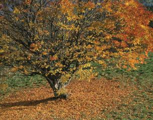 紅葉の楓と落葉 11月 長野県の写真素材 [FYI03985236]