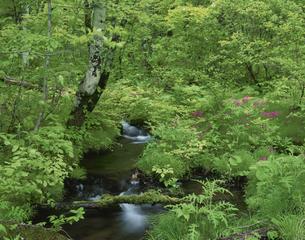九輪草の咲く小川 6月 福島県の写真素材 [FYI03985237]