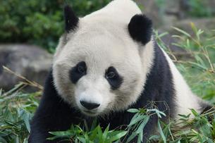ジャイアントパンダの写真素材 [FYI03985353]