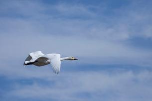 空を飛ぶハクチョウの写真素材 [FYI03985356]