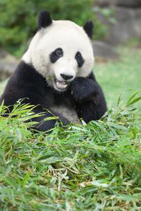 食事中のジャイアントパンダの写真素材 [FYI03985357]