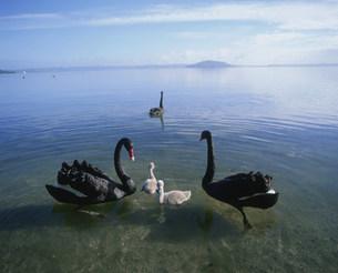 ロトルア湖の黒鳥親子の写真素材 [FYI03985432]