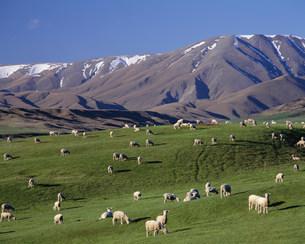 羊の放牧の写真素材 [FYI03985440]