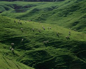 羊の放牧の写真素材 [FYI03985443]