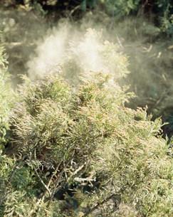 スギ花粉の写真素材 [FYI03986040]