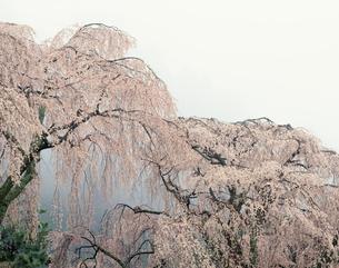 身延の枝垂桜の写真素材 [FYI03986063]