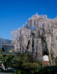 身延の枝垂桜の写真素材 [FYI03986067]