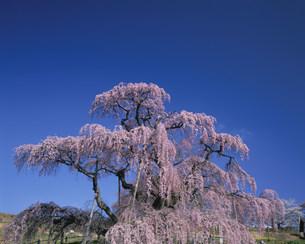 三春滝桜の写真素材 [FYI03986074]