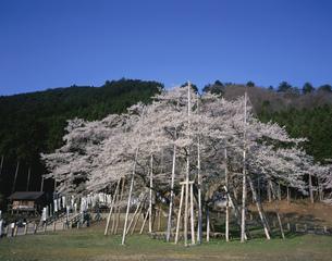 根尾淡墨桜の写真素材 [FYI03986108]