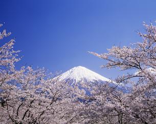 富士と桜 大石寺より望むの写真素材 [FYI03986110]