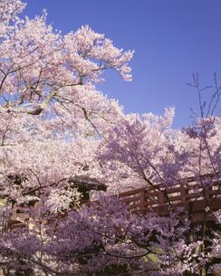 高遠の桜の写真素材 [FYI03986140]