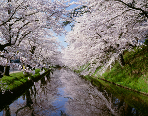弘前城の桜の写真素材 [FYI03986170]