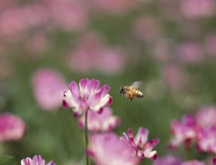 レンゲの花とミツバチの写真素材 [FYI03986350]