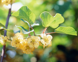 キウイフルーツの花の写真素材 [FYI03986443]