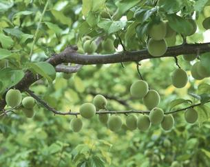 新緑の梅の実の写真素材 [FYI03986449]