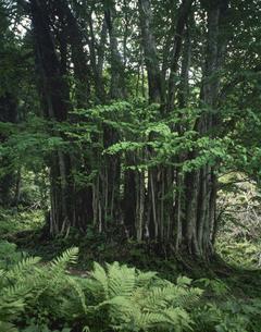 糸井のかつらの大樹の写真素材 [FYI03987558]