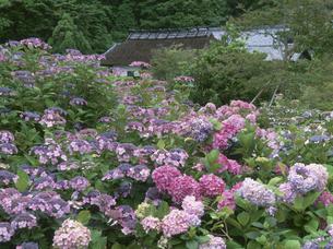 アジサイ咲く花庄屋の写真素材 [FYI03987705]