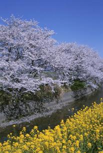 五条川の桜と菜の花の写真素材 [FYI03987743]