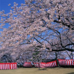 桜と花見幕の写真素材 [FYI03988109]