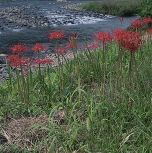 彼岸花と長良川の写真素材 [FYI03988134]