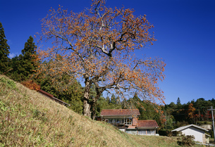 柿の木の写真素材 [FYI03988167]
