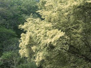 神座のトキワマンサク群落の写真素材 [FYI03988363]