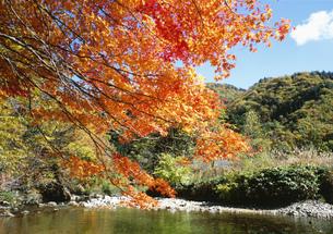 せせらぎ街道の川上川と紅葉の写真素材 [FYI03988373]