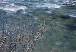 ネコヤナギと板取川 3月 岐阜県の写真素材 [FYI03988595]