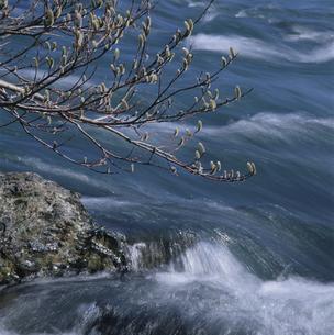 雪解水と猫柳 長良川 岐阜県の写真素材 [FYI03988596]