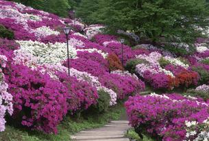 ツツジ咲く西山公園 鯖江市5月福井県の写真素材 [FYI03988598]