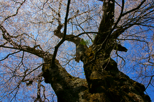 新田の桜の写真素材 [FYI03988683]