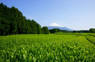 茶畑と富士山の写真素材 [FYI03988684]