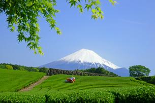 茶畑と富士山の写真素材 [FYI03988686]