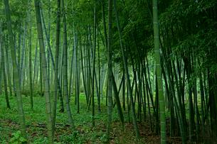 竹林 瀬戸の筍産地の写真素材 [FYI03988703]