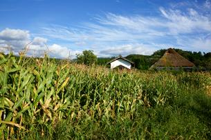 トウモロコシと茅葺民家 農村景観日本一の地の写真素材 [FYI03988739]
